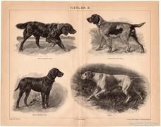 Vizslák II., nyomat 1898, kutya, vizsla, vadászat