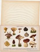 Ehető gombák, 1892, színes nyomat, gomba, szarvasgomba